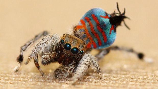 Meet 'Sparklemuffin', the new peacock spider species discovered in Toowoomba.