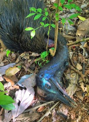 Pip, the cassowary, was killed by dogs in Far North Queensland. Photo: Twitter