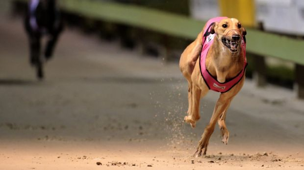 More Queensland grehound trainers have been stood down over the live baiting scandal.