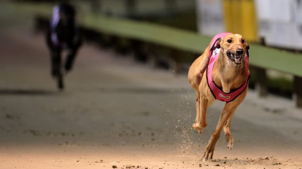 Another greyhound trainer has been banned over the live baiting scandal.