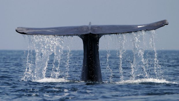 An adult blue whale (Balaenoptera musculus) dives.