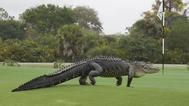 On the green, but far from regulation: an alligator walks onto the edge of the putting green on the seventh hole of ...