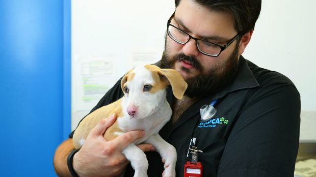 Lucky with veterinarian Julian Suchowersky at the RSPCA veterinary clinic in Rutherford, near to Newcastle.
