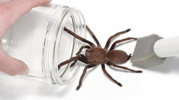 UQ researchers have discovered a way to turn tarantula venom into a painkiller.