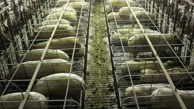 Mass deaths: The Grong Grong Piggery, in a file picture unrelated to the deaths of the 500 pigs in the heat stress ...