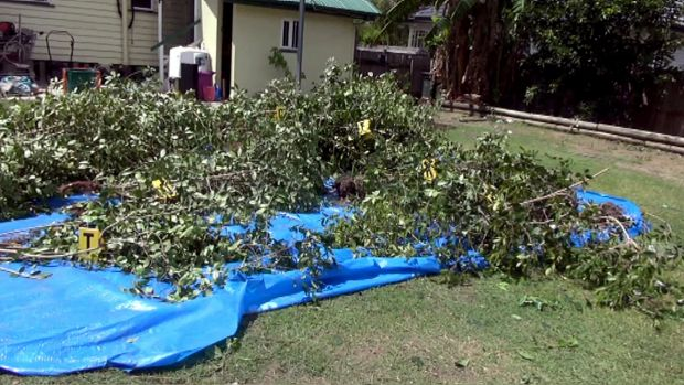 Khat plants are piled up at the raided home in Mt Gravatt East.