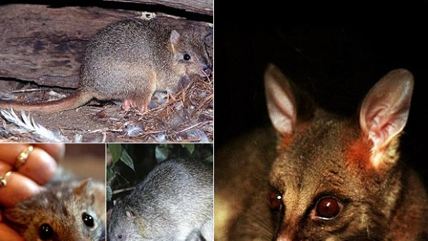 Into oblivion . . . some of the disappearing native mammals: (clockwise from above) burrowing bettong, a possum, ...