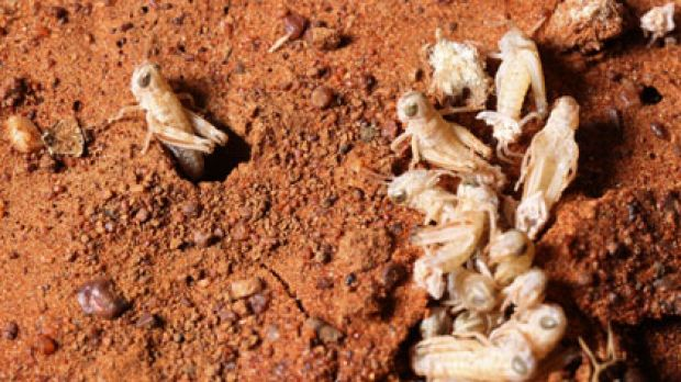 Outbreak ... the NSW government has said it has an ''arsenal'' on standby to tackle the locust attack.