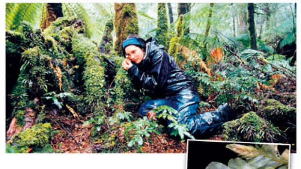 Rainforest Recovery's Marianne Worley (top) has discovered a rare liverwort species (above) surviving in areas ...