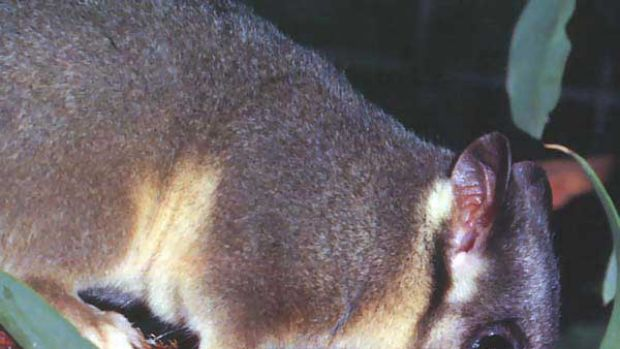 Leadbeater's possum: scientists say its survival is at risk.