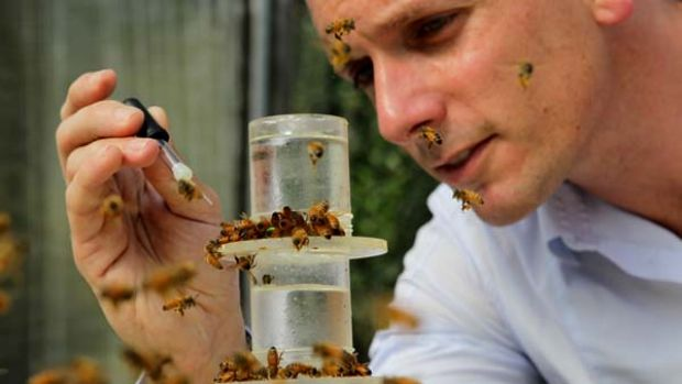 Bad habits ... Dr Andrew Barron feeds common honey bees liquid cocaine.