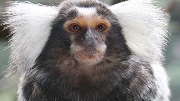 Cheeky, a marmoset monkey just like the one pictured above, has been reunited with her twin after being stolen.