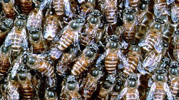 A hive of Asian honey bees.