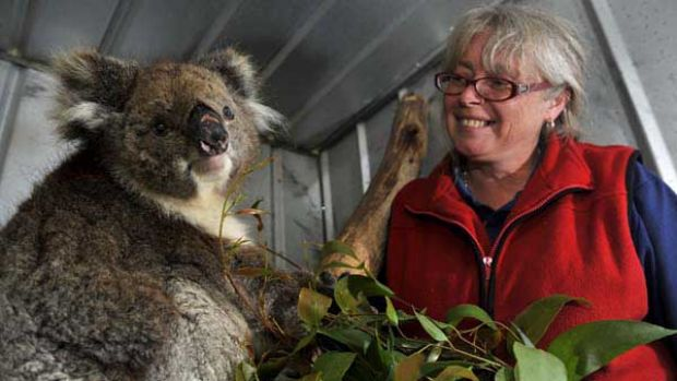 Linda Healy with Belle the koala.