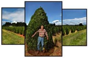 Craig McClellan at his Moorooduc plantation, from which he sells almost 20, 000 Christmas trees a year.
