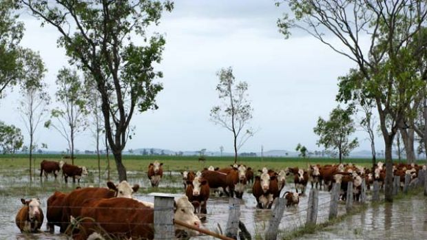 Cattle stand in a flooded Dalby field.