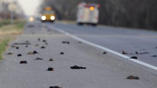 Further south ... hundreds of birds scattered on a rural highway in Louisiana.