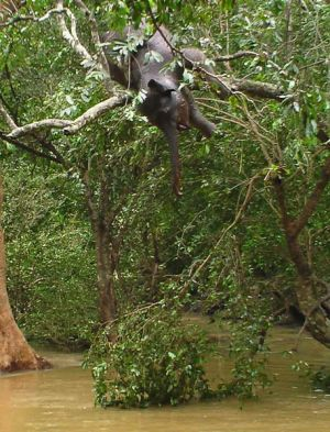 The body of a baby elephant drowned in heavy floodwaters hangs from a tree in the north-central region of Habarana, Sri ...