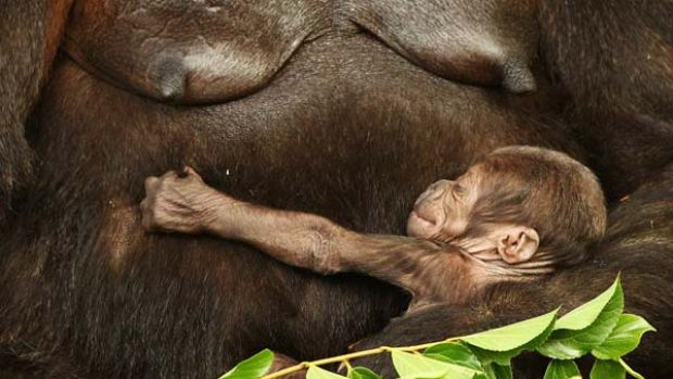 Kipenzi lies in the arms of her mother Kriba at Taronga Zoo. The critically endangered western lowland gorilla was born ...