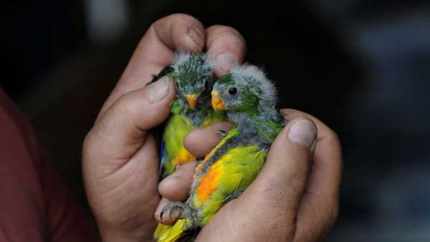 Orange Bellied Parrot chicks from Melaleuca in south-west Tasmania.