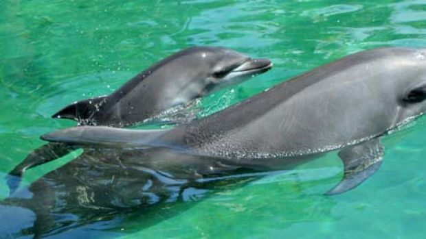 Sea World's newest resident, a to-be-named bottle nose dolphin, takes a cruise with its mum.
