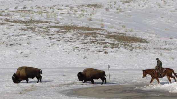 A National Parks Service   rider moves bison  from one location to another just inside Yellowstone National Park.