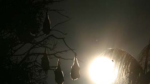 Another year at the Botanic Gardens ... the large bat colony gets to stay on.