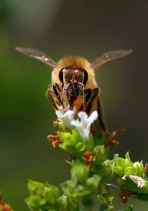 The bee industry warns that Australia's horticulture sector could be devastated.