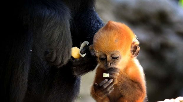 Taronga Zoo has welcomed the birth of an endangered bright orange  Francois langur monkey named Keo-co.