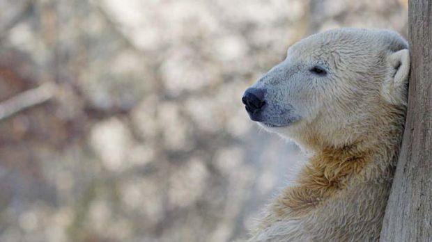 Celebrity ... Knut's short life was lived in the spotlight.