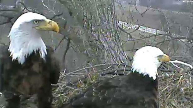 In this image taken from live streaming video provided by the Raptor Resource Project, two eagles stand over their ...