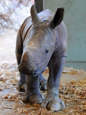 Australia Zoo's new white rhino.