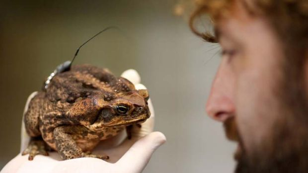 Dr Matt Greenless with a female cane toad fitted with a radio transmitter to track its movements.