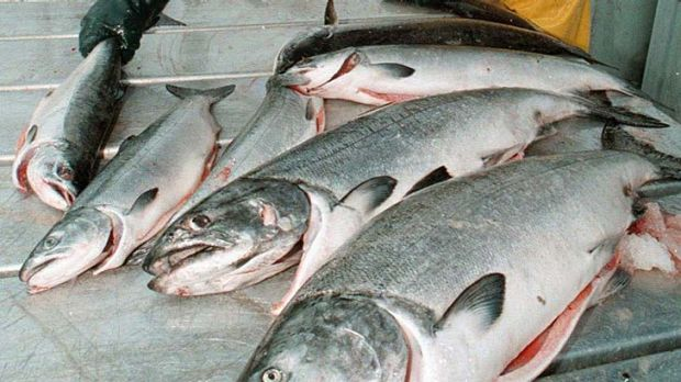 Pacific salmon . . . numbers are declining.