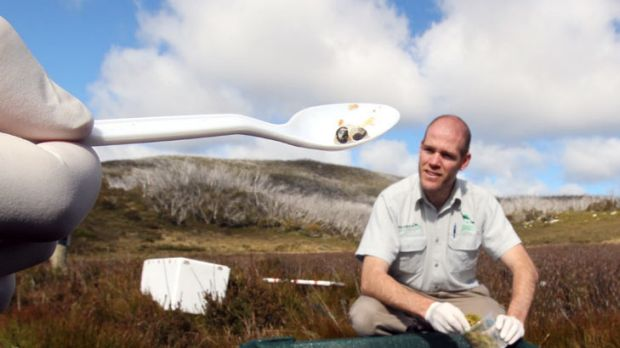 Eggs-and-spoon race...  Michael McFadden from Taronga Zoo and a helper release frog eggs in the Snowy Mountains.