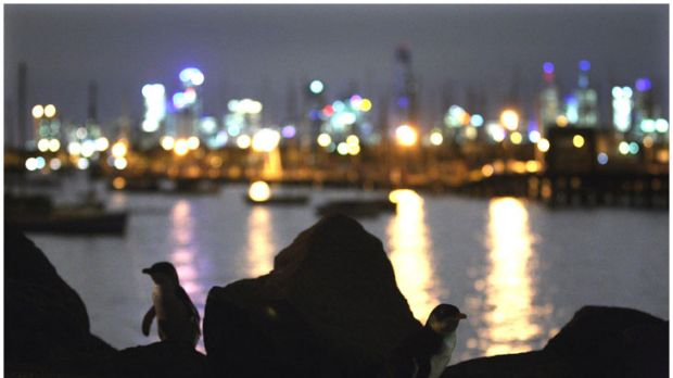 Drawcards: Penguin in silhouette at St Kilda, where the little birds attract crowds of up to 1500 people a night.