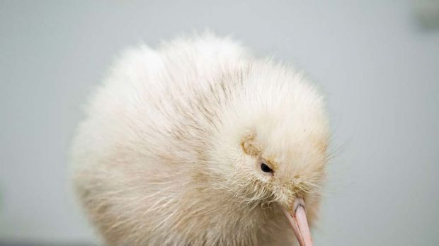 Hello world ... a rare white kiwi chick just days after being hatched.