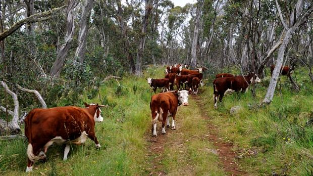 Cattle grazing on the Drago High Plains. The Baillieu government contiuned to bully Melbourne University over the alpine ...