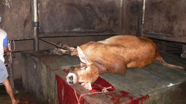 A slaughtered steer in an Indonesian abattoir.
