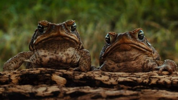 It just takes two: The scourge of the cane toad is given funny-serious treatment in the superb Mark Lewis documentary ...
