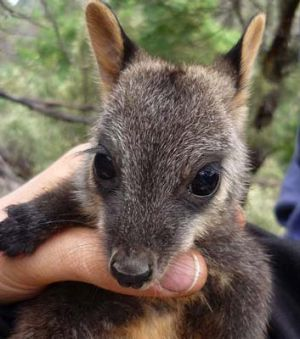 From a wild population of 10, Victoria's critically endangered brush-tailed rock wallaby is  clawing its way back from ...