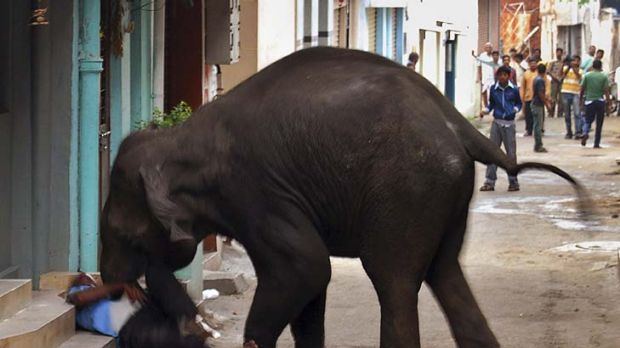 Rampage ... a wild elephant gores a man in Mysore