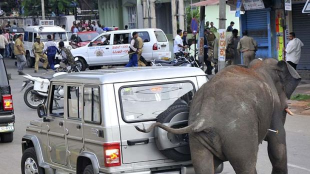 Chaos... an elephant, with a tranquiliser dart in its side, brushes past a car.