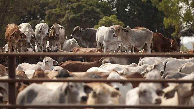 Up to 5000 head of cattle marked for export but now left in limbo at Nick Thorne's export yard south of Darwin since the ...