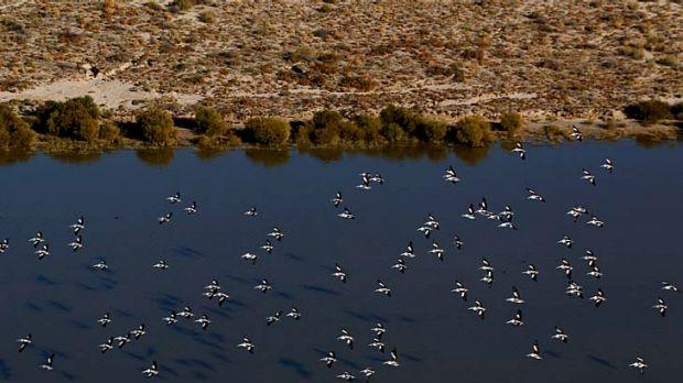 Australian pelicans in flights over the Kallakoopah Creek.