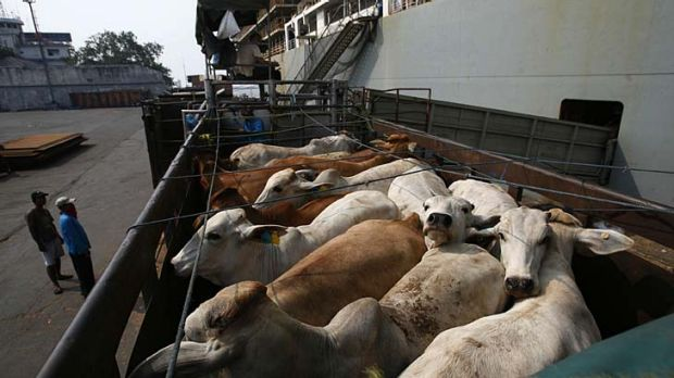 Australian cattle are loaded onto a truck after arriving at the Tanjung Priok port in Jakarta.