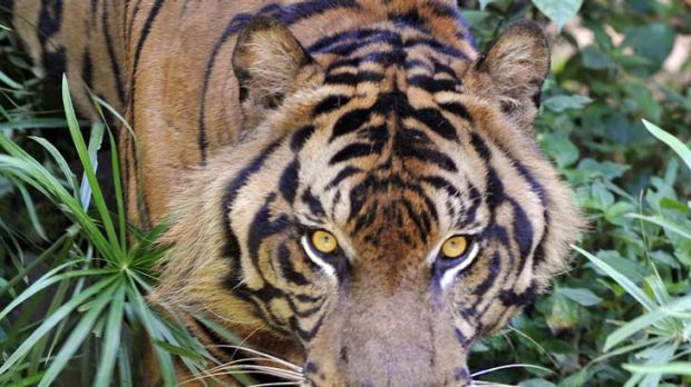 A trap intended for pigs accidentally caught and killed a rare Sumatran tiger.