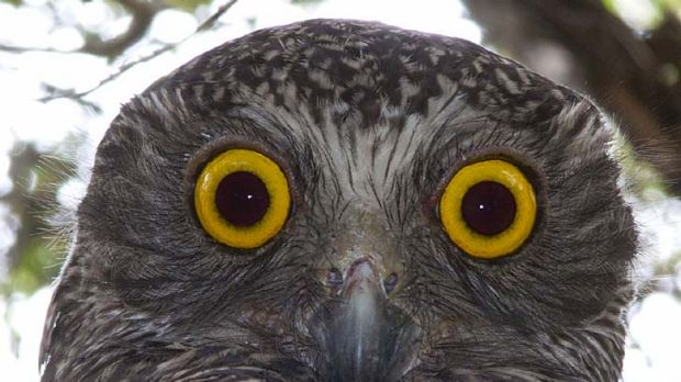 Ninox Strenua ... Sydney's powerful owl