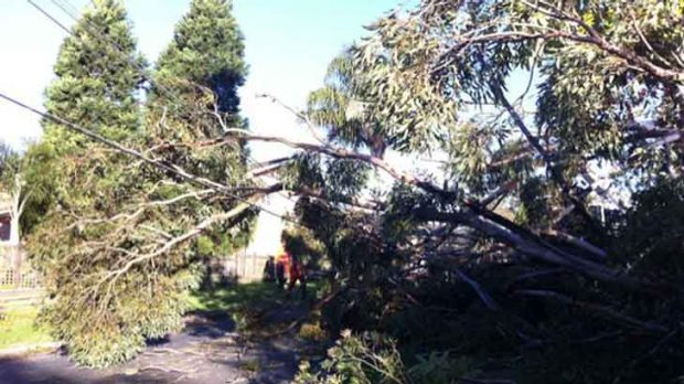 A fallen gum tree brings down power lines at Hornsby Heights.
