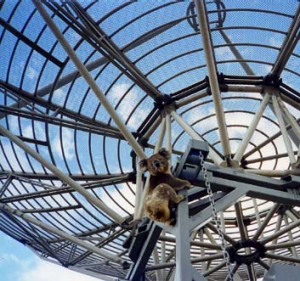 A curious koala climbs on the frame of Doug McArthur's giant satellite dish at Glenburn.